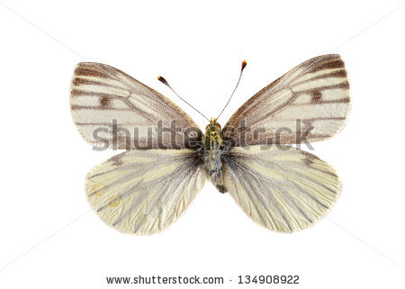 Vector Images, Illustrations and Cliparts: The Green veined white.