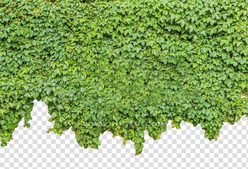 Green wall wild plant illustration, Parthenocissus.
