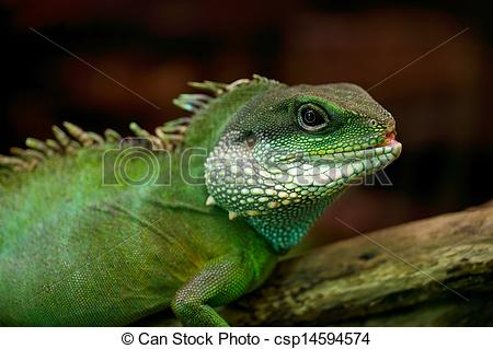 Picture of Iguana.