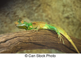 Stock Photo of Chinese water dragon (Physignathus cocincinus.