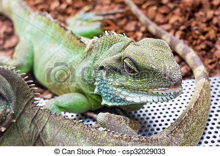 Stock Photos of Green Water Dragon. Chinese Water Dragon.
