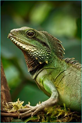 Chinese water dragon (Physignathus cocincinus) is a species of.