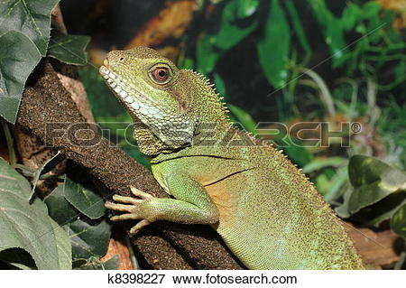 Picture of Green Water Dragon k8398227.