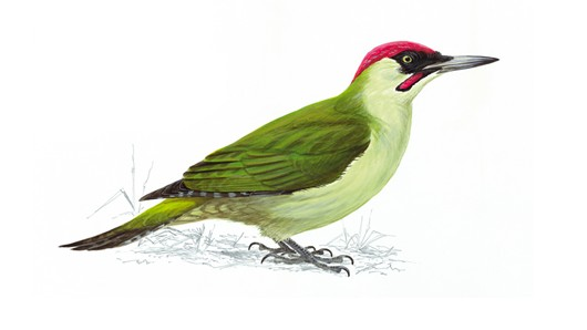The RSPB: Green woodpecker.
