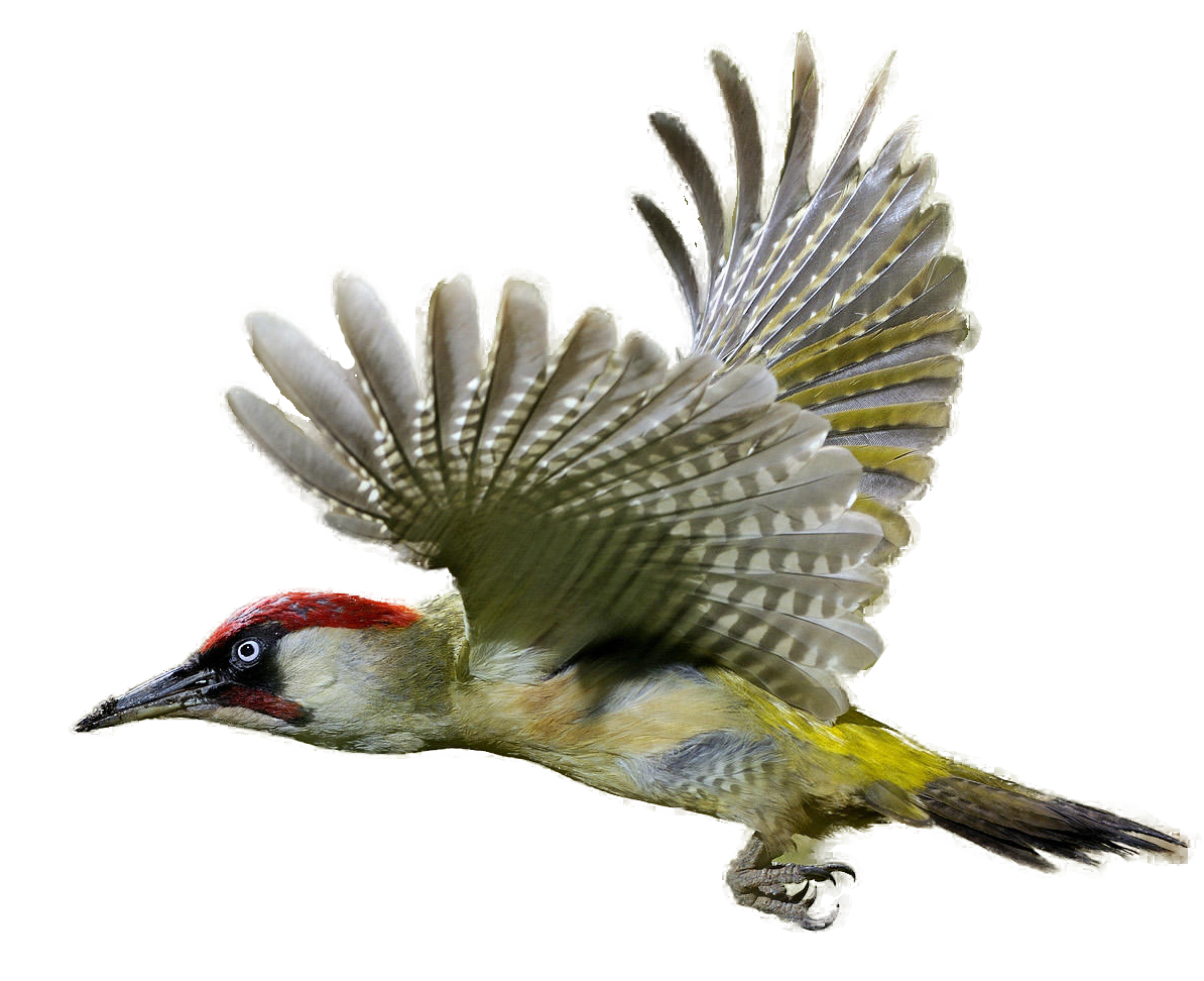 Woodpecker PNG Transparent Images.