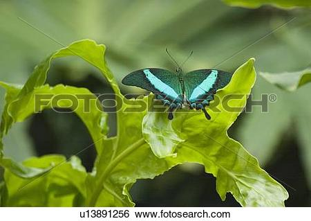 Stock Images of Green Banded Peacock butterfly (Papilio palinurus.
