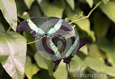 Emerald Swallowtail Butterfly Stock Photos, Images, & Pictures.