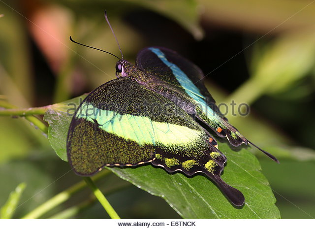 Green Swallowtail Butterfly Peacock Stock Photos & Green.