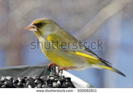 Greenfinch Stock Photos, Royalty.