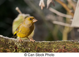 Stock Photographs of Greenfinch.