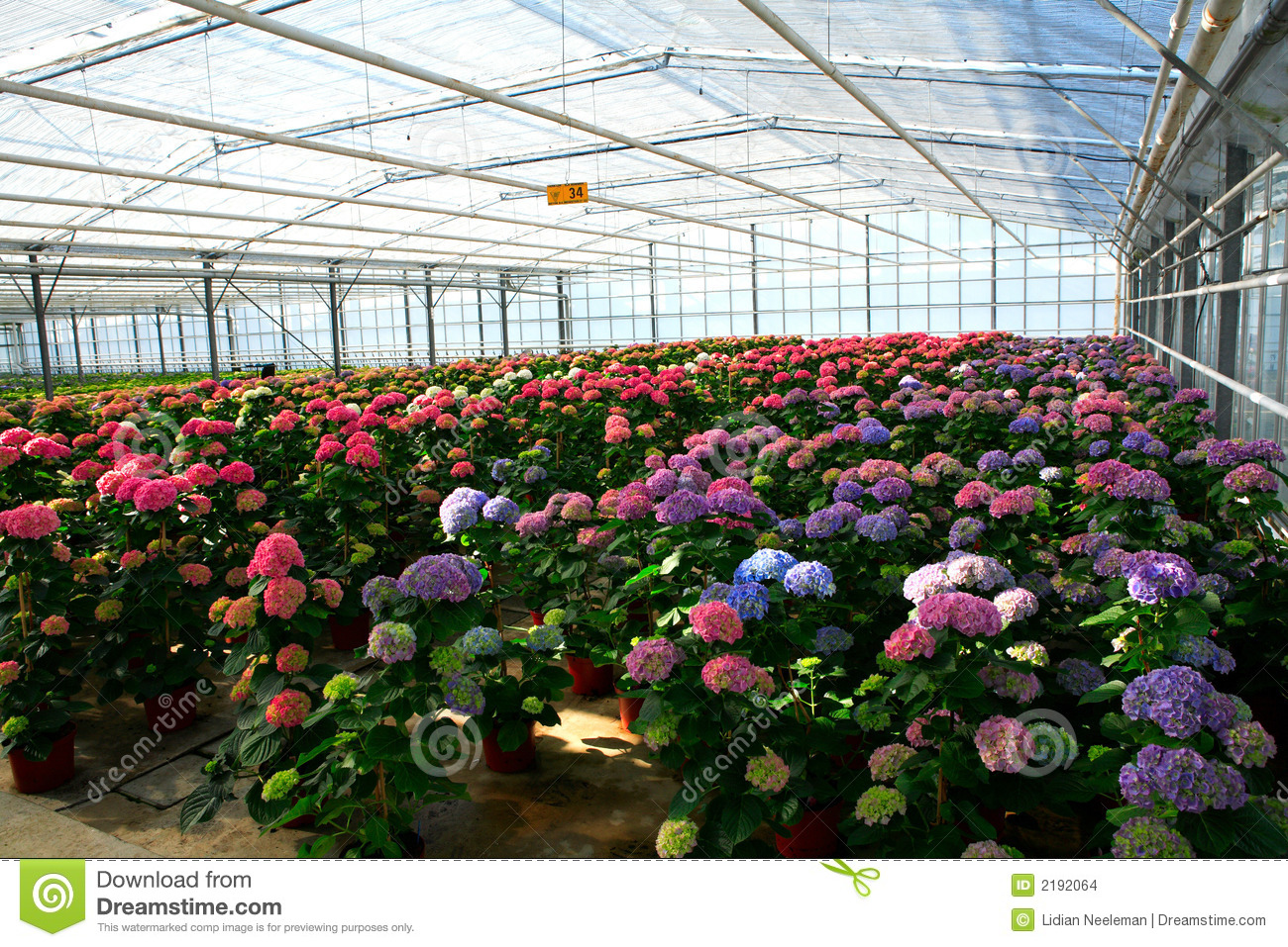 Greenhouse With Cultivation Of Hydrangea Stock Photo.
