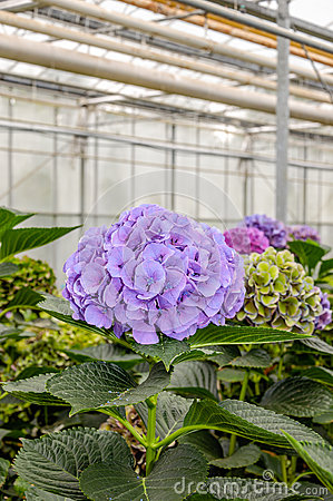 Cultivation Hortensia Plants Greenhouse, Netherlands Stock Photo.