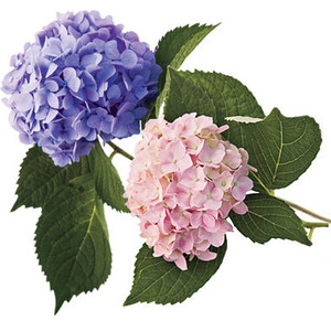Hydrangea Clipart #72075 by inkgraphics.