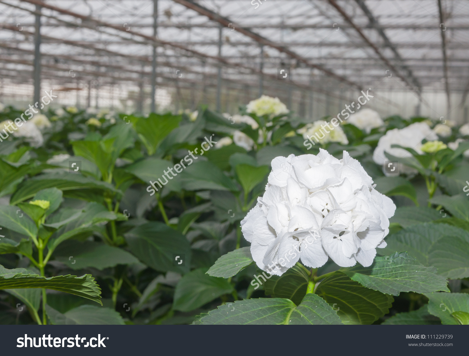 Pure White Blooming Hydrangea Macrophylla Plants In A Flower.