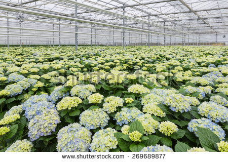 Dutch Greenhouse With Cultivation Of Hydrangea Stock Photo.