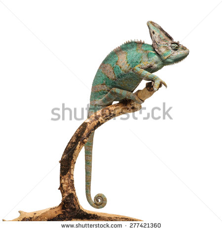 Greenish brown chameleon on branch isolated on white background.
