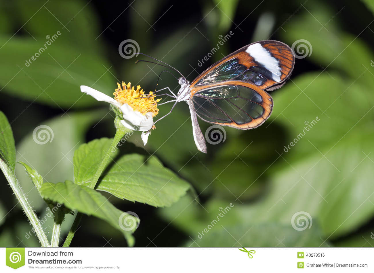Glasswing Butterfly, Greta Oto Stock Photo.