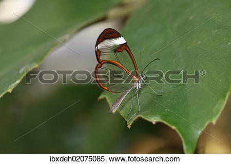 "Stock Image of ""Glasswinged butterfly (Greta oto), found in South."