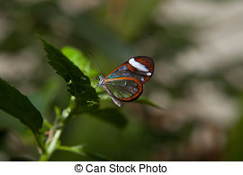 Stock Images of Clear wing butterfly or Greta oto.