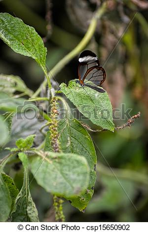 Stock Photography of Glasswinged Butterfly (Greta oto) csp15650902.