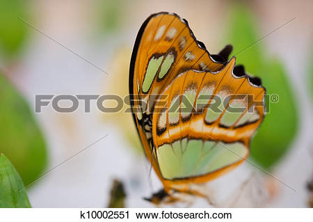 Stock Photography of Clear wing butterfly or Greta oto k10002551.