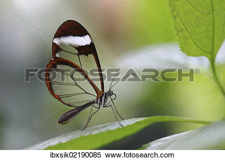 "Stock Image of ""Glasswinged butterfly (Greta oto) on a green leaf."