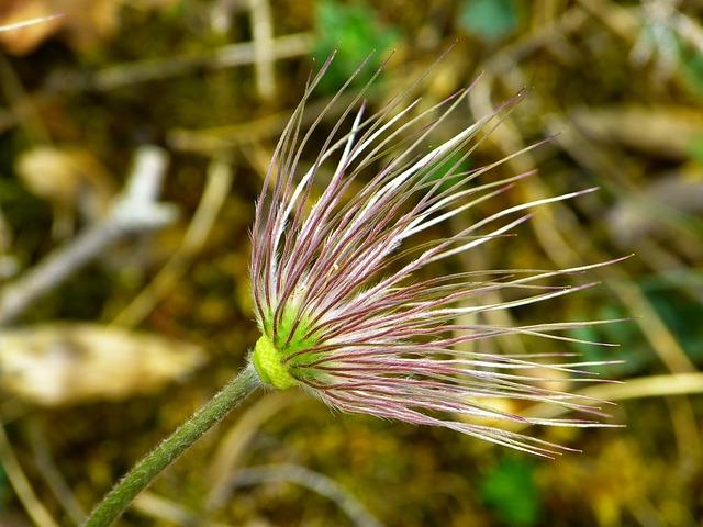 Free photo Alpine Plant Alpine Flower Faded Alpine Pasqueflower.