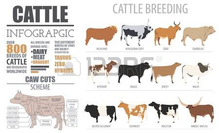 Grey cattle clipart #8