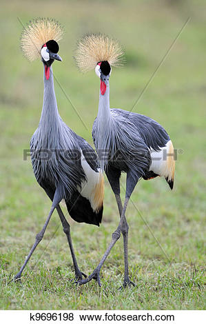 Pictures of Two Grey Crowned Cranes at courtship. k9696198.