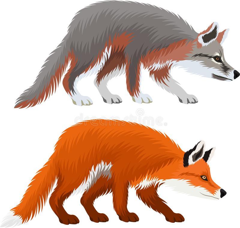 Fox Vulpes Stock Illustrations.