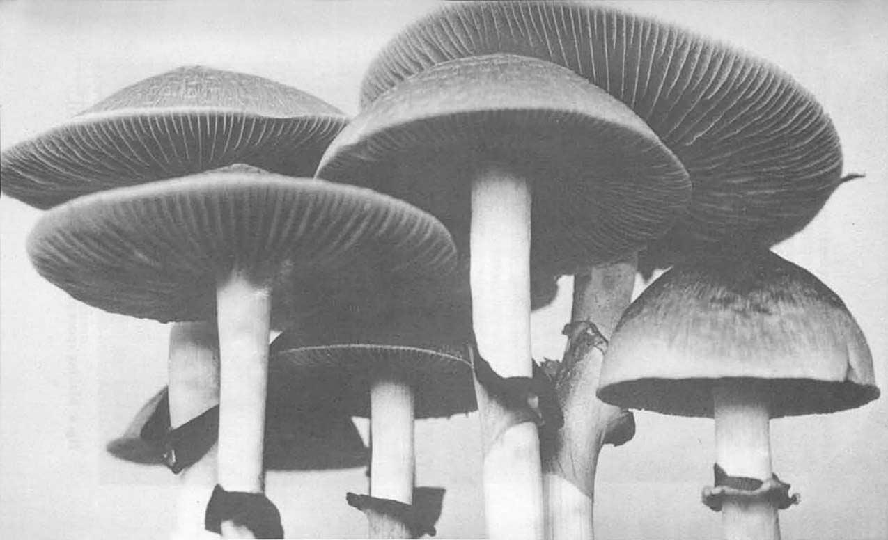 psilocybin magic mushrooms growers guide.