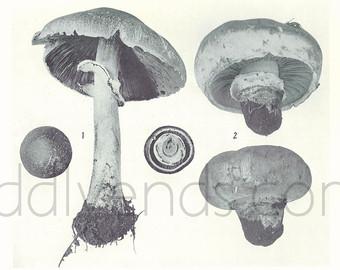 Mycology print.