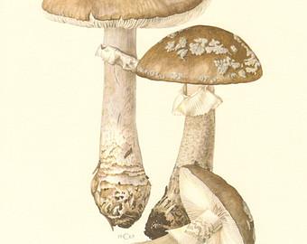 Gilled mushroom.
