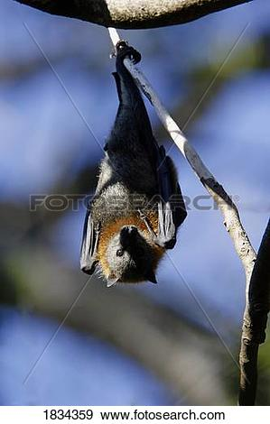 Stock Photograph of Grey Headed Flying Fox fruitbat, Pteropus.