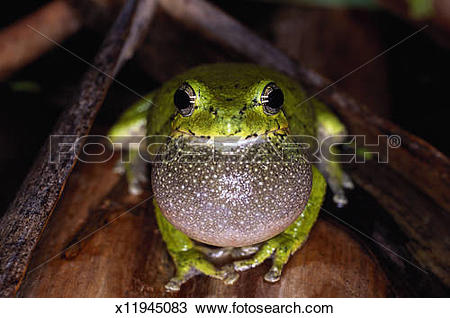 Stock Photo of Gray tree frog, with inflated vocal sack x11945083.