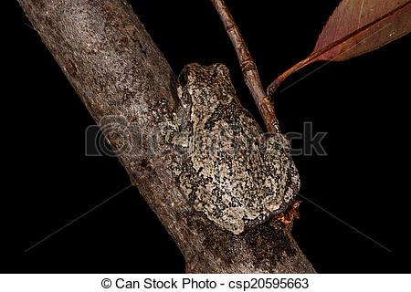 Stock Image of Grey Tree Frog on Stick..