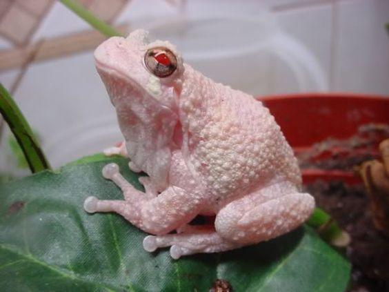 Albino Grey Tree Frog.