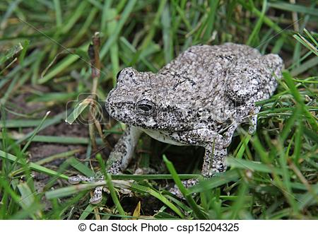 Stock Photo of Gray Tree Frog in Grass.