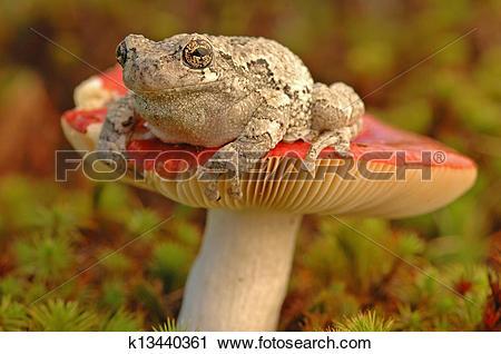 Stock Photography of Grey tree frog (Hyla versicolor) k13440361.