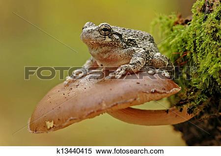 Stock Image of Grey tree frog (Hyla versicolor) k13440415.