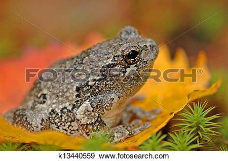 Stock Photograph of Grey tree frog (Hyla versicolor) k13440559.