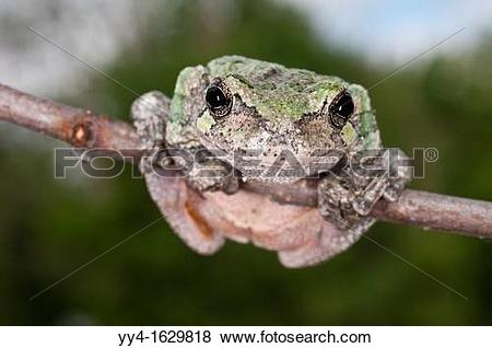 Pictures of Gray tree frog, Hyla versicolor, female, USA yy4.