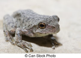 Grey tree frog Illustrations and Clipart. 9 Grey tree frog royalty.