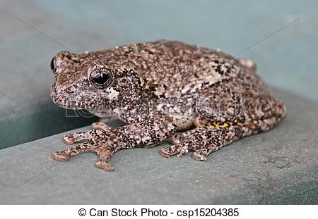 Pictures of Grey Tree Frog.