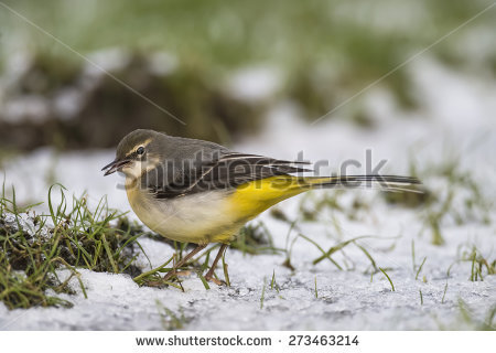 Grey Wagtail Stock Photos, Royalty.