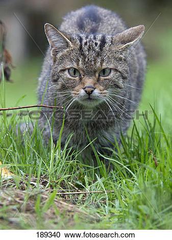 Stock Photography of European Wild Cat (Felis silvestris). Adult.