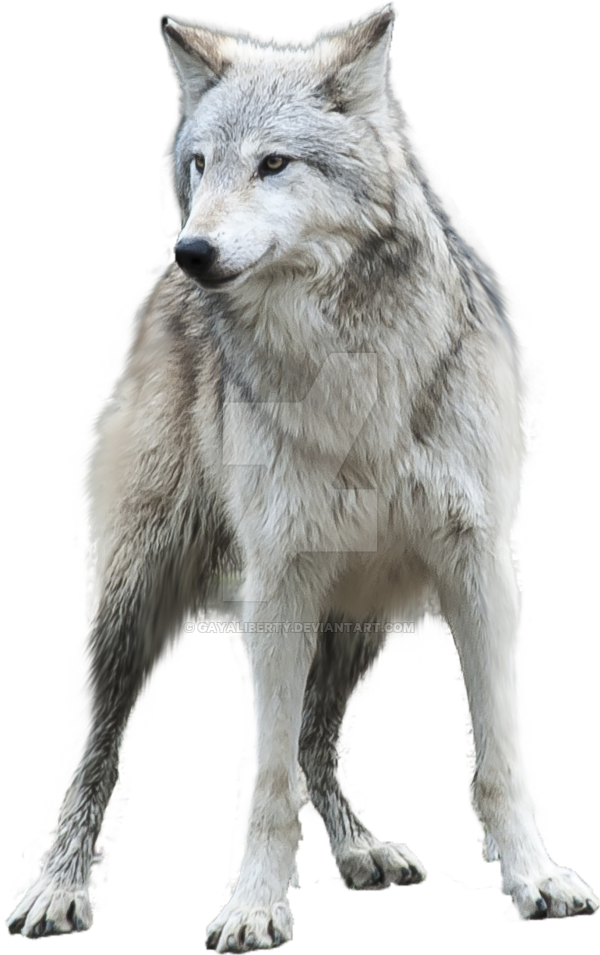 Grey Wolf PNG Clipart.