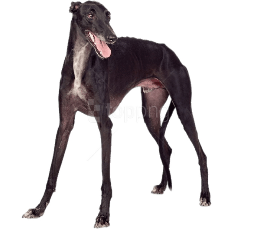 Greyhound PNG Images.