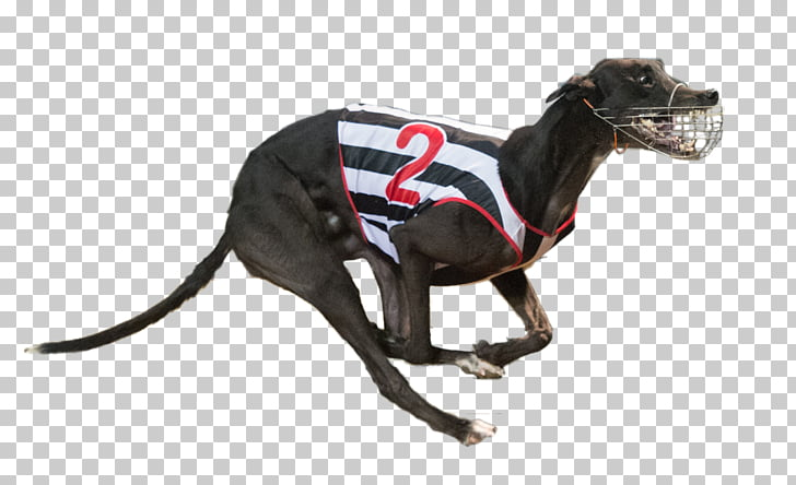 Italian Greyhound Greyhound racing Dog breed, others PNG.