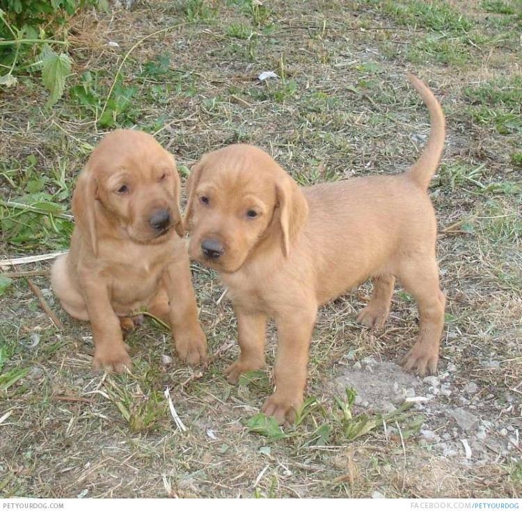 Griffon Fauve de Bretagne Puppies.